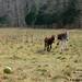 The Daily Donkey 125 - Gnat and Esmeralda run right past the donkey ball