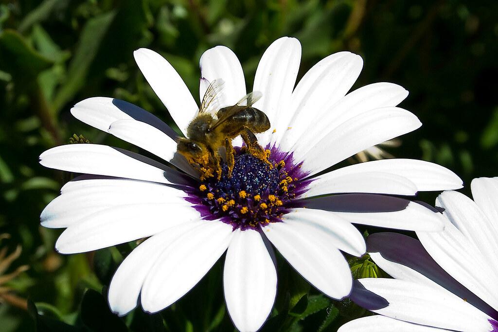 Abeja abeja en una flor de un jard n en san roque for Ahuyentar abejas jardin