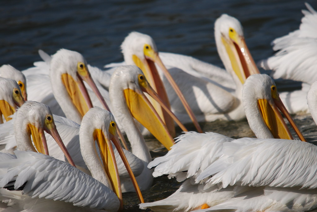 Do Not Feed the Pelicans