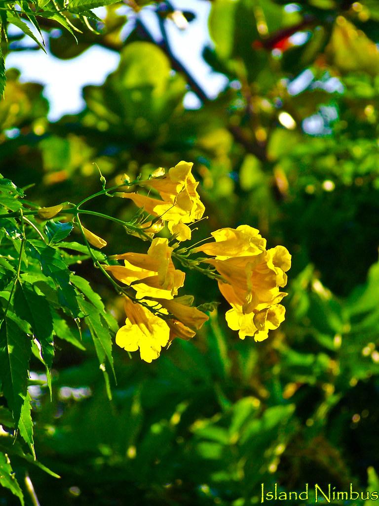 Yellow Cedar The Yellow Cedar Is The Official Flower Of