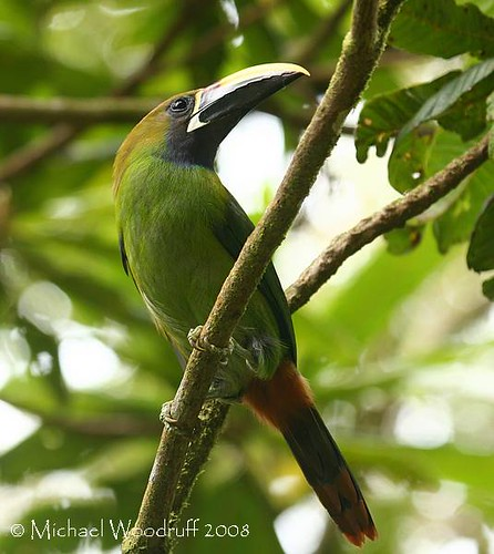 Emerald Toucanet | by Michael Woodruff