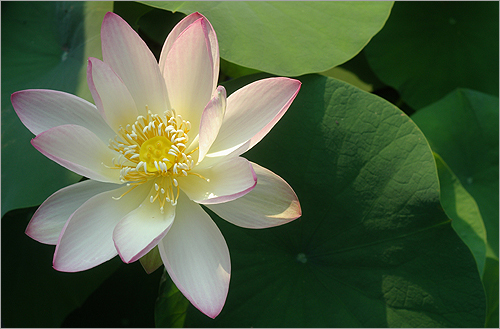 Lotus_Flower_IMGP2442 | by Bahman Farzad