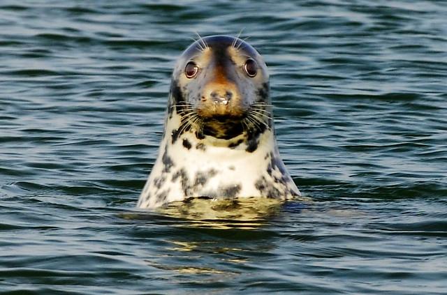 Gray Seal off Chatham, Cape Cod | A Gray Seal checks me ...