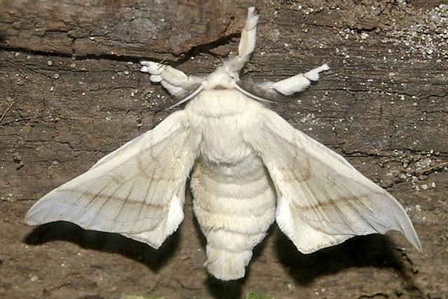30.10.08 Silk worm moth | Churchlands The first of the ...