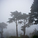 Trees in the Fog, Golden Gate Park
