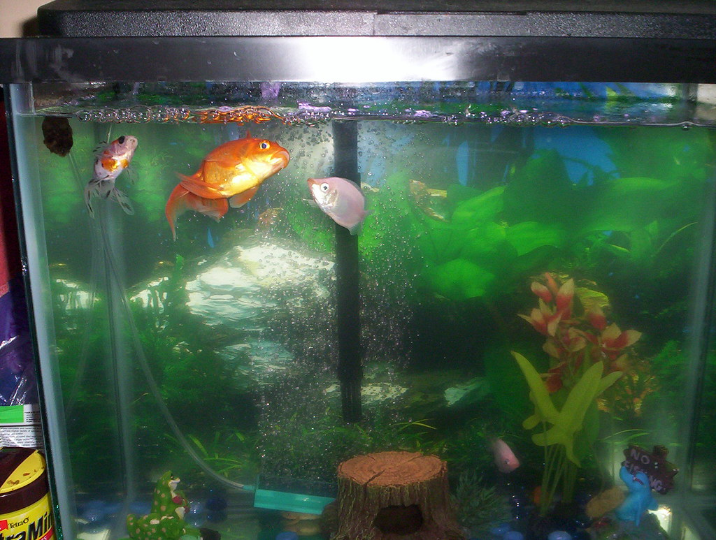 All sizes   Our Goldfish and Pink Kissers in the 15G tank. (Goldie ...