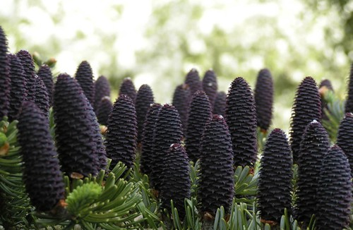 Abies koreana - cones | by James's GW Blog