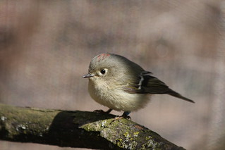 columbus zoo (ruby-crowned kinglet)1 | by sgale39