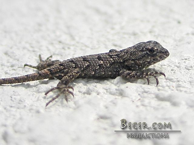 Baby Eastern Fence Lizard Steve Beger Flickr