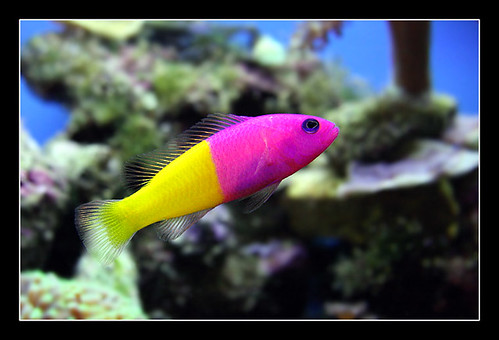 Pseudochromis Paccagnellae Flickr Photo Sharing