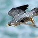 Peregrine Falcon Launch