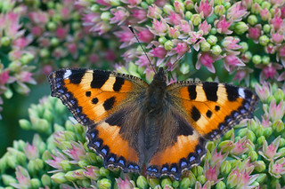 Small Tortoiseshell butterfly on sedum flower * Бабочка-крапивница на цветке седум | by v.plessky