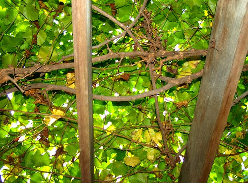 Scuppernong Grape Arbor | by Marxchivist