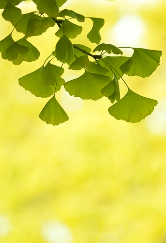 gingko leaves | by * Yumi *