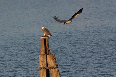 Female Sea-eagle On Post, Male Flying Past, 18th May