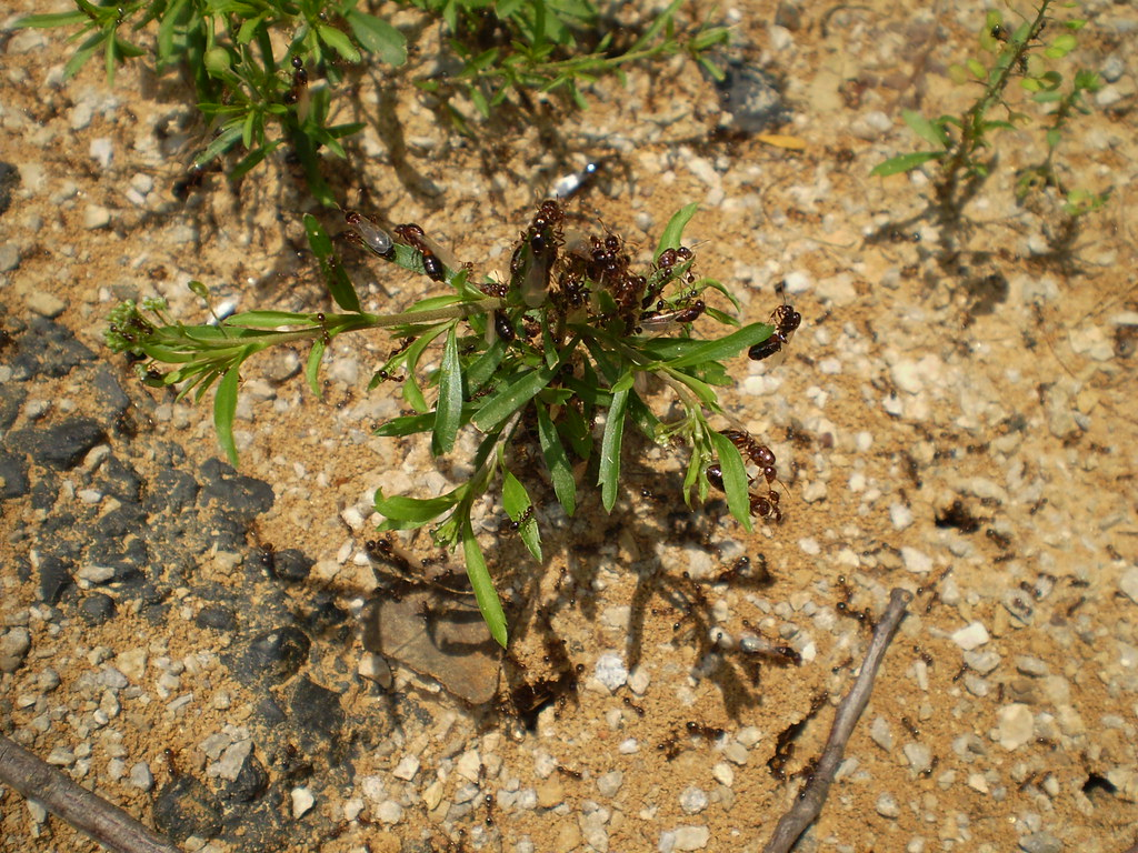 Fire Ants Attack! | This weed must have angered the fire ...