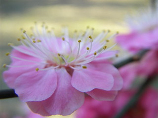 Ume | by Blue Lotus