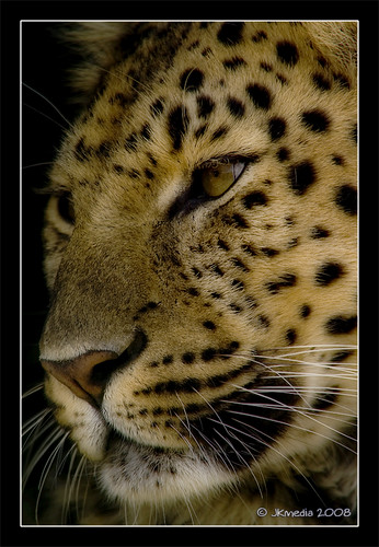 Portrait of an Amur Leopard | by JKmedia