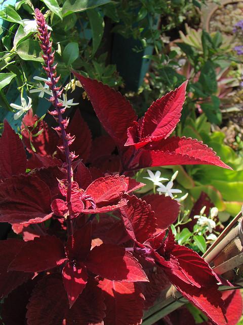 Coleus Big Red Judy Sun Tolerant Coleus Variety On The