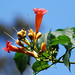 Trumpet vine bloom