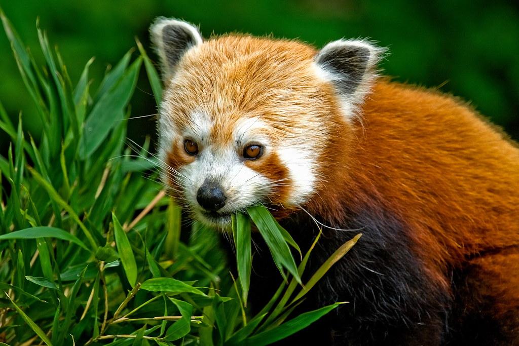animal faces red panda ailurus fulgens red panda