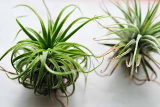 air plants | by estmsk