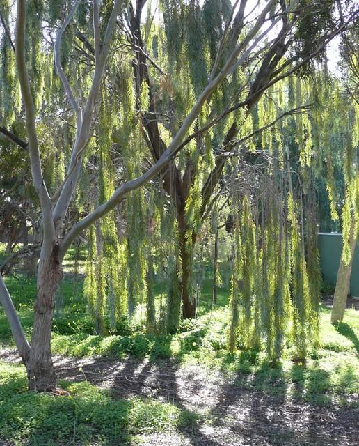 Acacia-pendula. Australian Weeping Willow. | Sun and ...