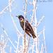 European Starling ( Adult )