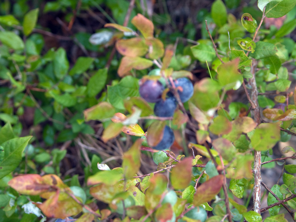 how to grow wild blueberries from seeds