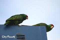 Red-crowned Amazon parrots (Amazona viridigenalis)