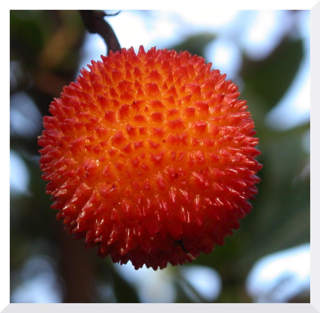 Castell d 39 aro catalogne espagne arbouse fruit de l - Fruit de l arbousier ...