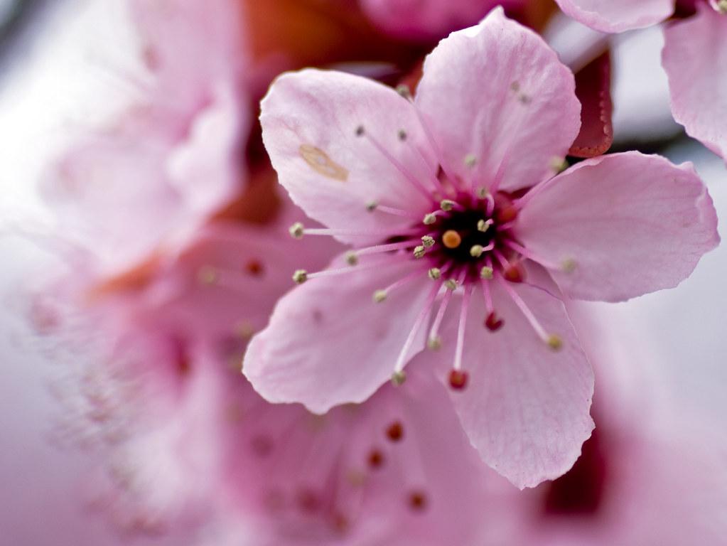 Cherry Blossom Closeup Mnlamberson Flickr