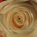 It's My favorite rose colour.