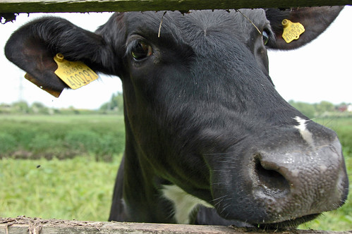 Cow | by Dave Gorman