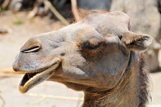 Profile of a camel | by Tambako the Jaguar