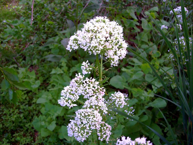 white heliotrope Photos and information about minnesota flora - garden heliotrope: flat to round clusters of ¼-inch pinkish to white trumpet shaped flowers.