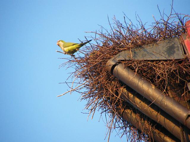 Wild Quaker Parrot Nest   Flickr - Photo Sharing!