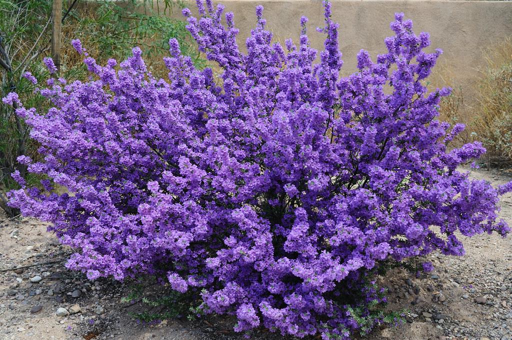 Purple Sage Bush Dave Smith Flickr
