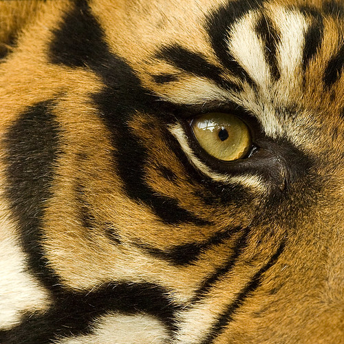 The eye of the tiger | by iPhotograph