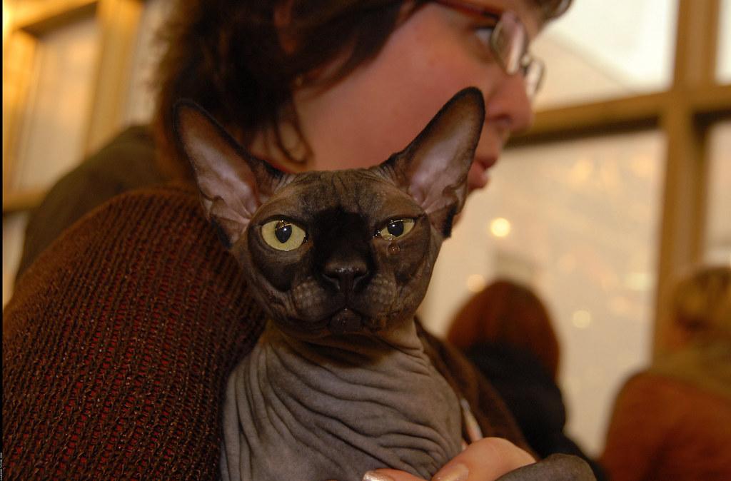Тойгер  Фотографии и видео породы кошек тойгер Toyger