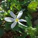 Narciso-da-tarde // Autumn Narcissus (Narcissus serotinus)