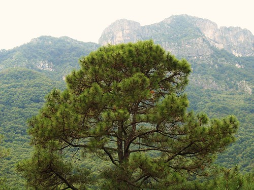 Pinus teocote | by * Hi Tech Bio *