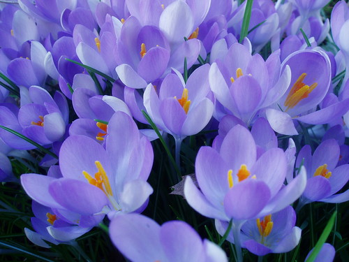 Light Purple Crocus | by RHR Horticulture