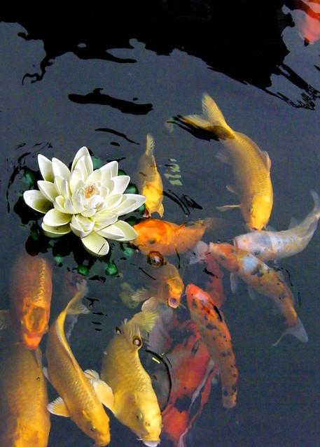 Fish jade temple shanghai mic flickr for Japanese garden fish