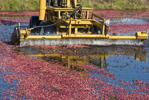 cranberry harvest 11 | by hollyladd