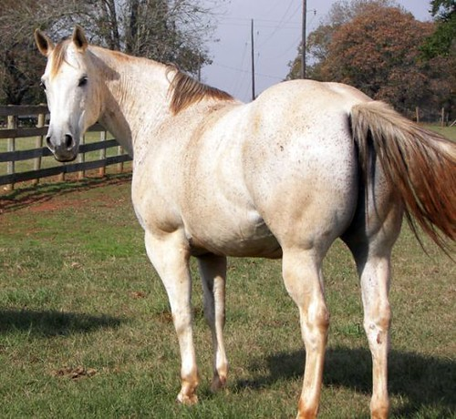 Grey Quarter Horse Mare For Sale Beautiful Grey Mare In