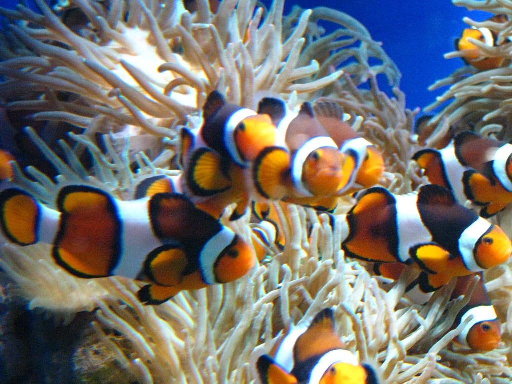 小丑魚 Clownfish   fung1981   Flickr