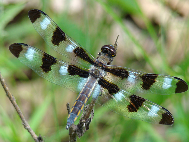 Black winged dragonfly - photo#11
