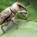 Is it a sheep? An aardvark? No, it's superweevil!