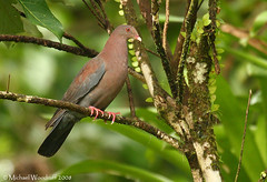 Red-billed Pigeon | by Michael Woodruff